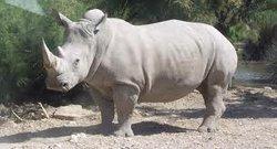 théo rhino